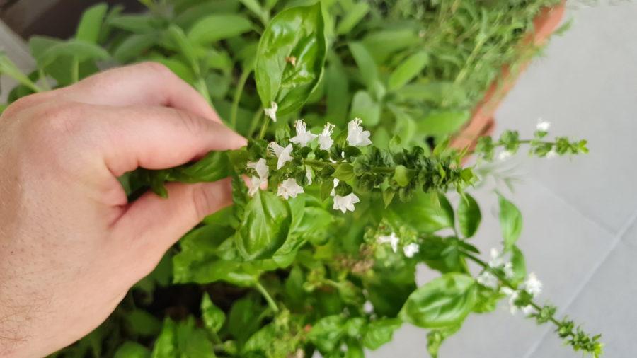 Basilikum Blüten Blätter